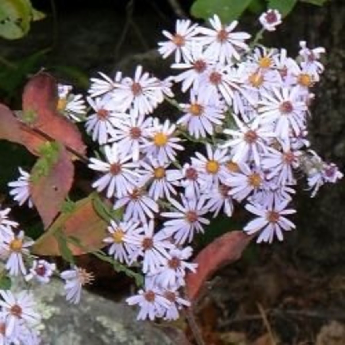 Native White Wood Aster growing in our woodland garden