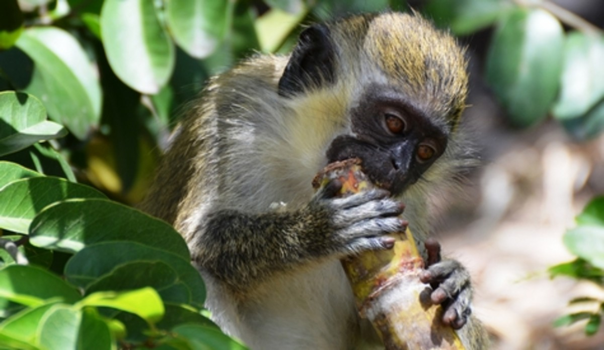 Monkey eating sugar cane