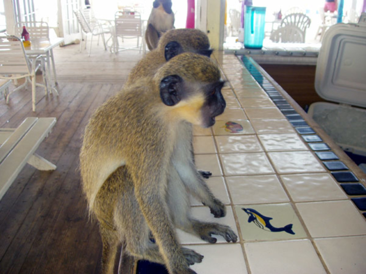 Vervet monkeys at aTurtle Beach bar, Saint Kitts