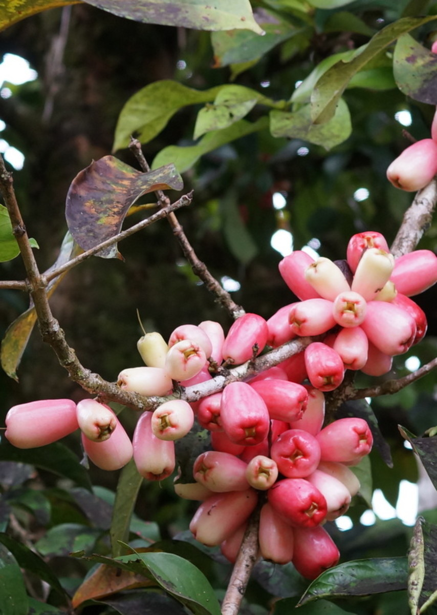 The manzana de aqua fruit on the tree.  It is about 3-4 inches long and is not really very sweet.  As the name suggests it is mostly a good source of water with some fiber tossed in for good measure.
