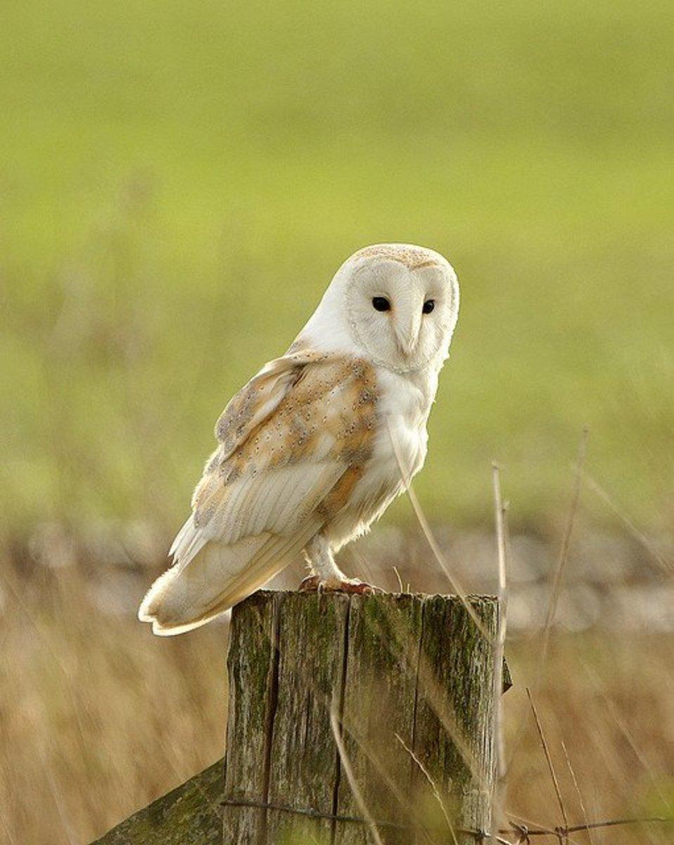 Barn Owl.  Notice those large dark eyes.