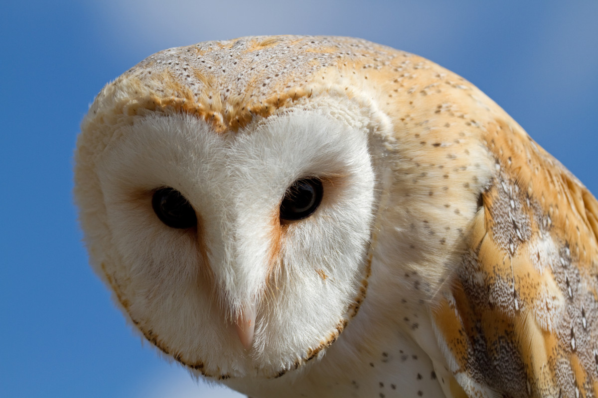 Birds of Prey:  The Barn Owl