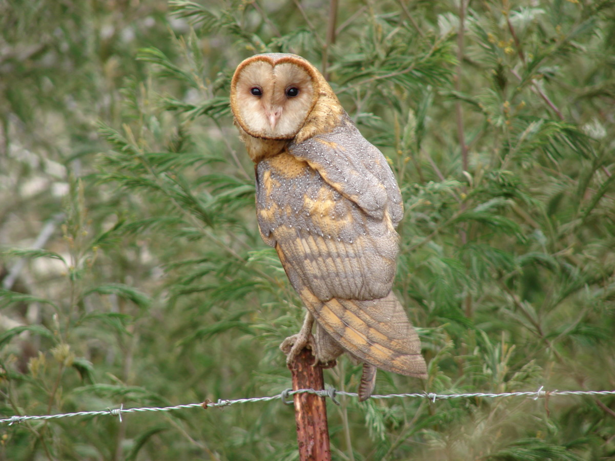 Barn Owl perched on a fence.