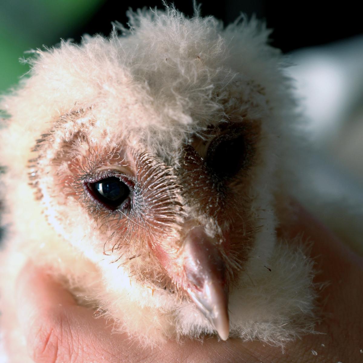Newborn Barn Owl