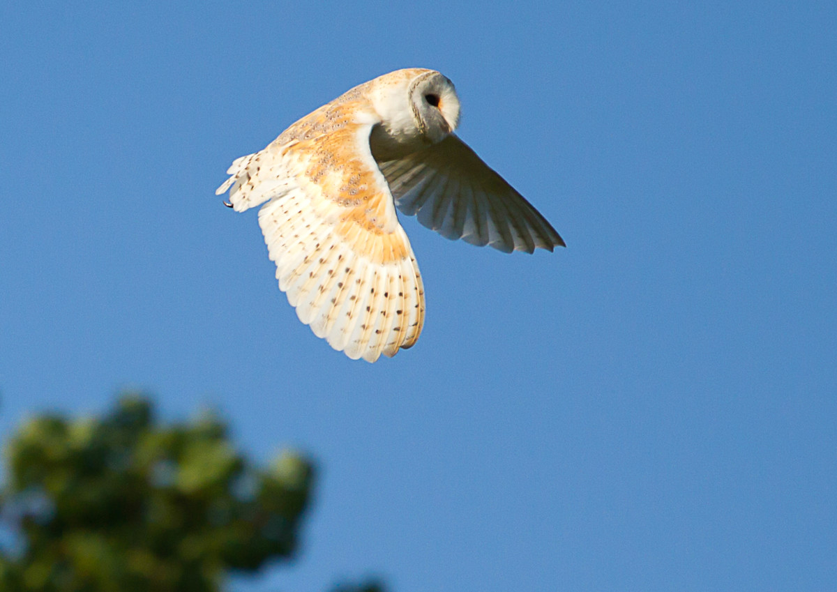 The Barn Owl.  Notice the rounded wings and short tail.