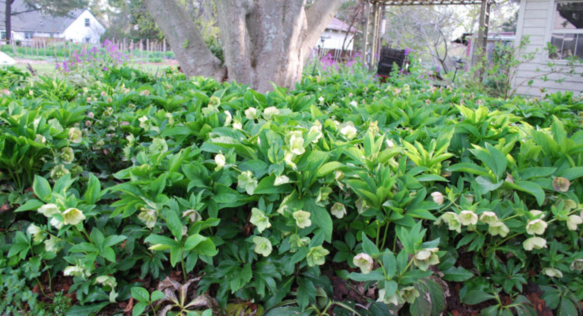 Hearty hellebores hubpages for Hearty low maintenance plants