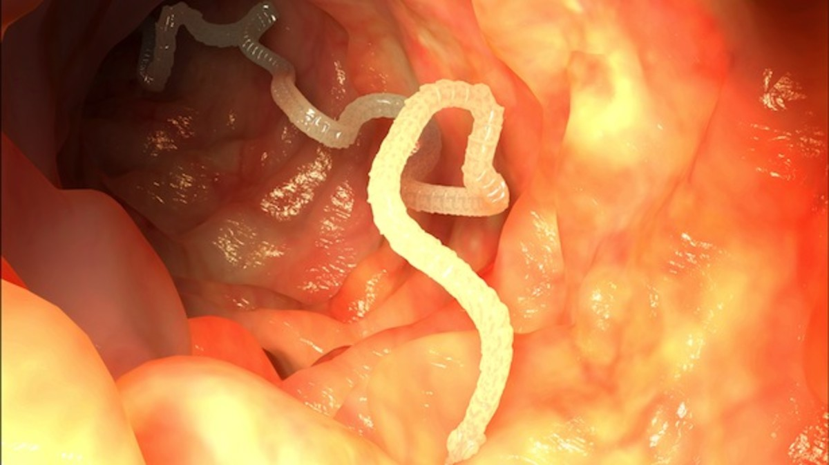 Tapeworms attach themselves to the intestinal wall and begin to absorb nutrients through their skin.