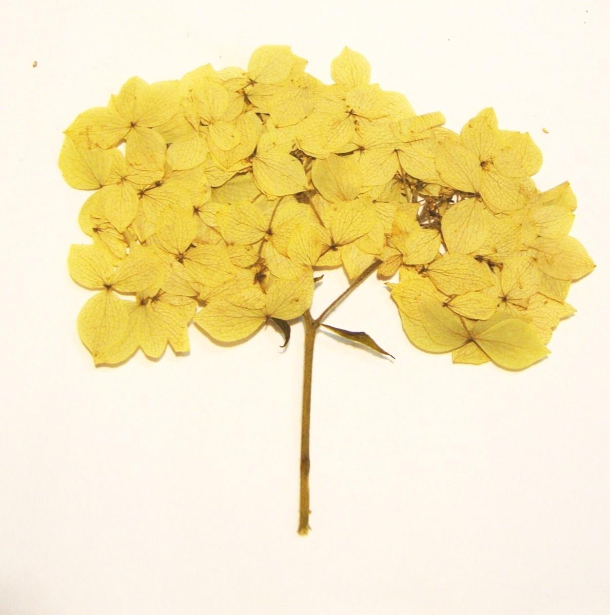 Image: Pressed Dogwood Bush Flower Head