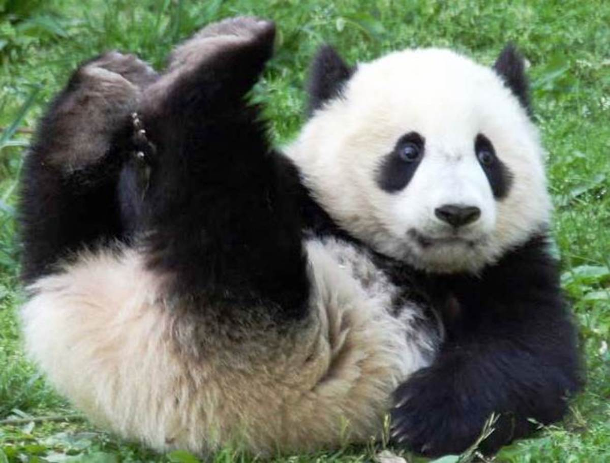 About Giant Panda | Information and Fun Facts about Giant ...