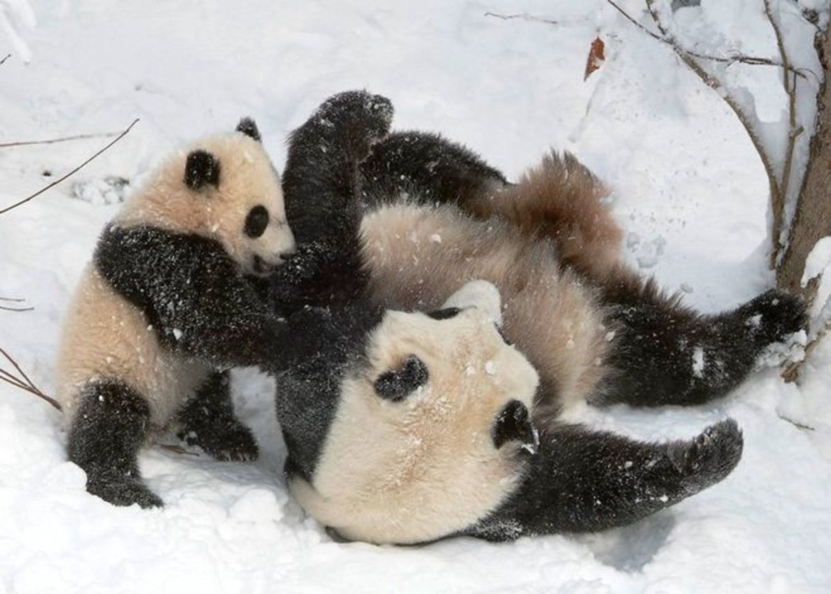 about-panda-information-and-facts-about-giant-panda