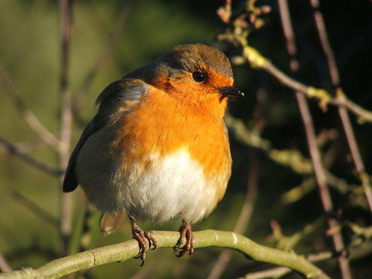 European Robin - Erithacus rebecula