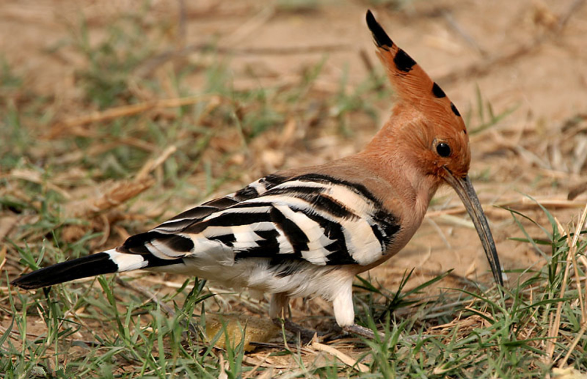 Common Hoopoe - Upupa epops