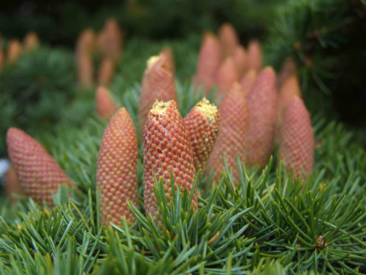 Gymnosperm; Its Definition, Types, Characteristics and Importance