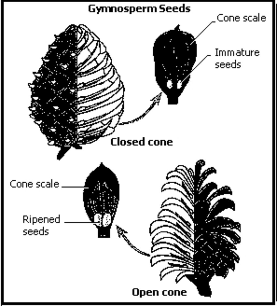 Gymnosperm parts