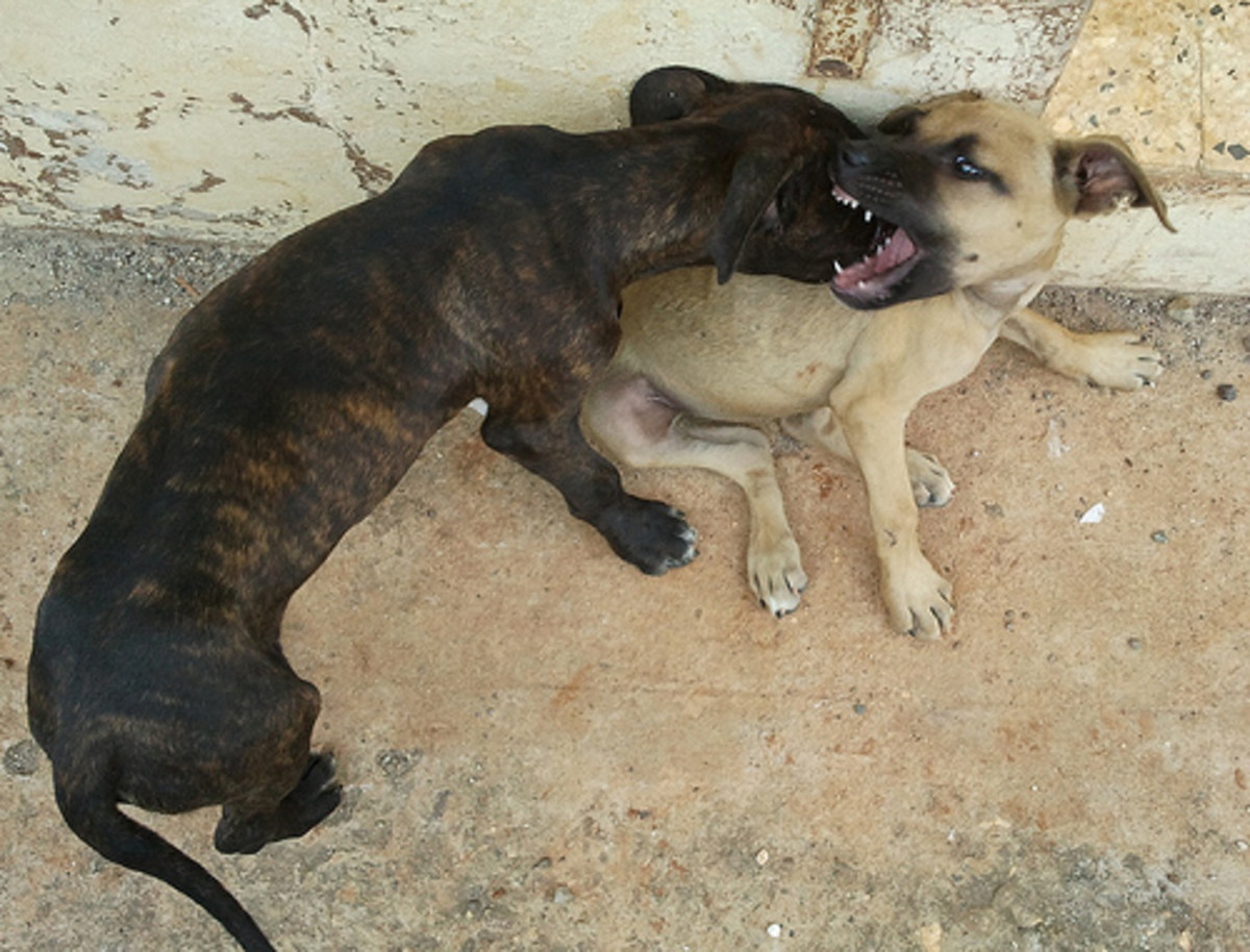 Pitbull puppies playing