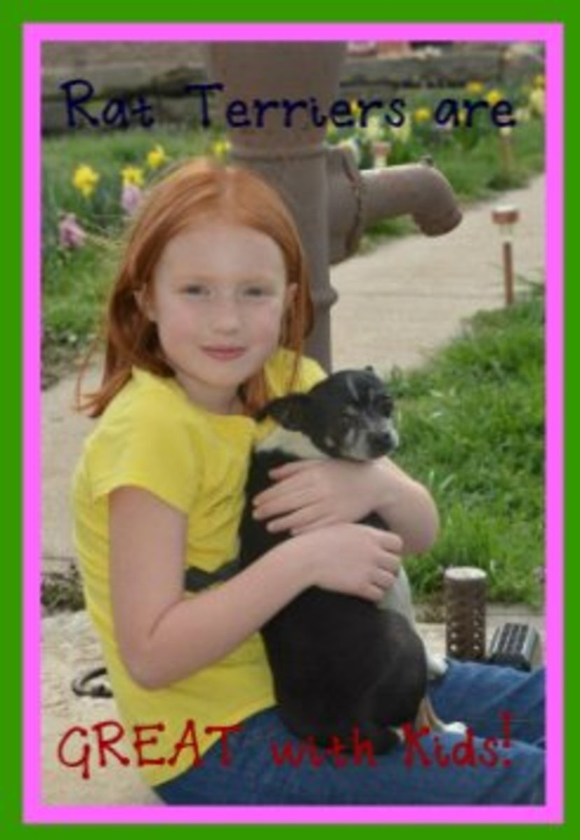 Our beautiful granddaughter holding her favorite rat terrier, Duchess.