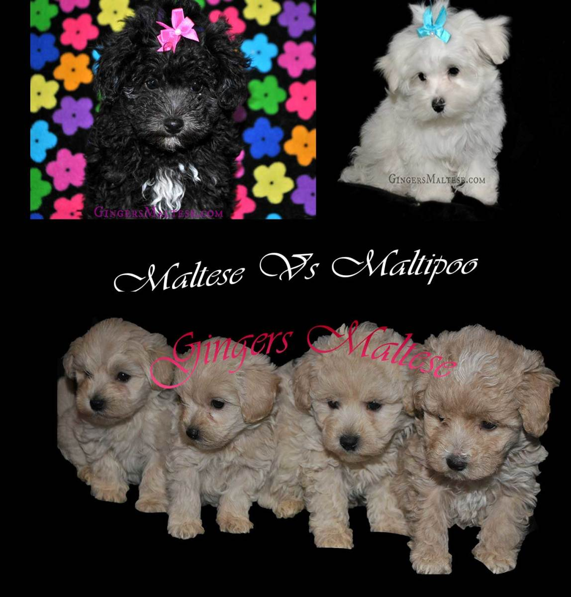 Black and tan puppies are Maltipoo's and the white puppy is a Maltese dog.