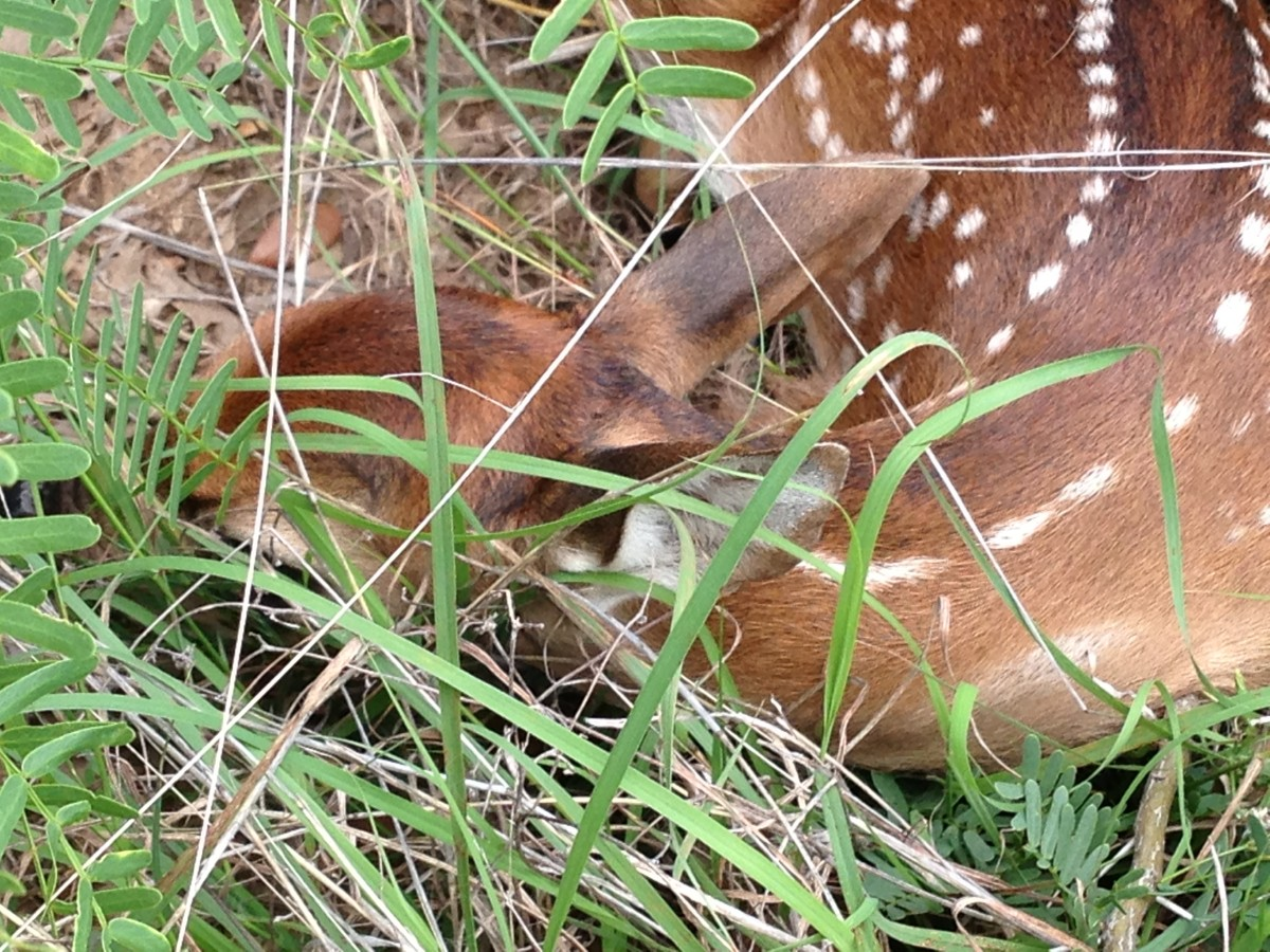 Enjoy Nature at the trials - I found a fawn sleeping in the grass Williamson County Regional Park  Leander and Cedar Park TX