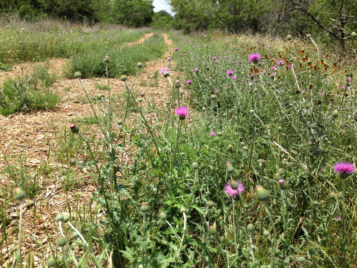 Check out the wildflowers along the trails (Texas Thistle) Williamson County Regional Park  Leander and Cedar Park TX