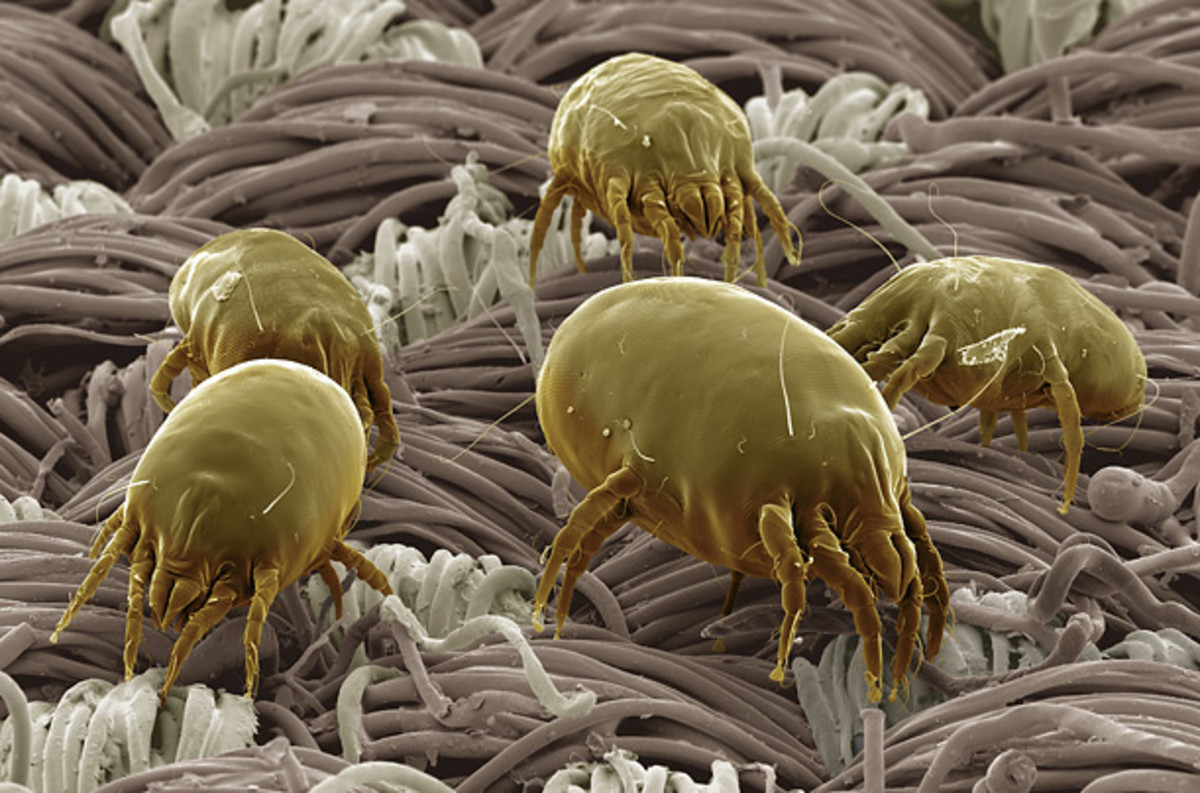 Dust Mite Simulated Photo Of Dust Mites On Bedding