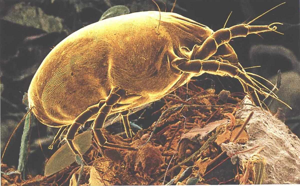 In this photo you have an adult dust mite blown up considerably.