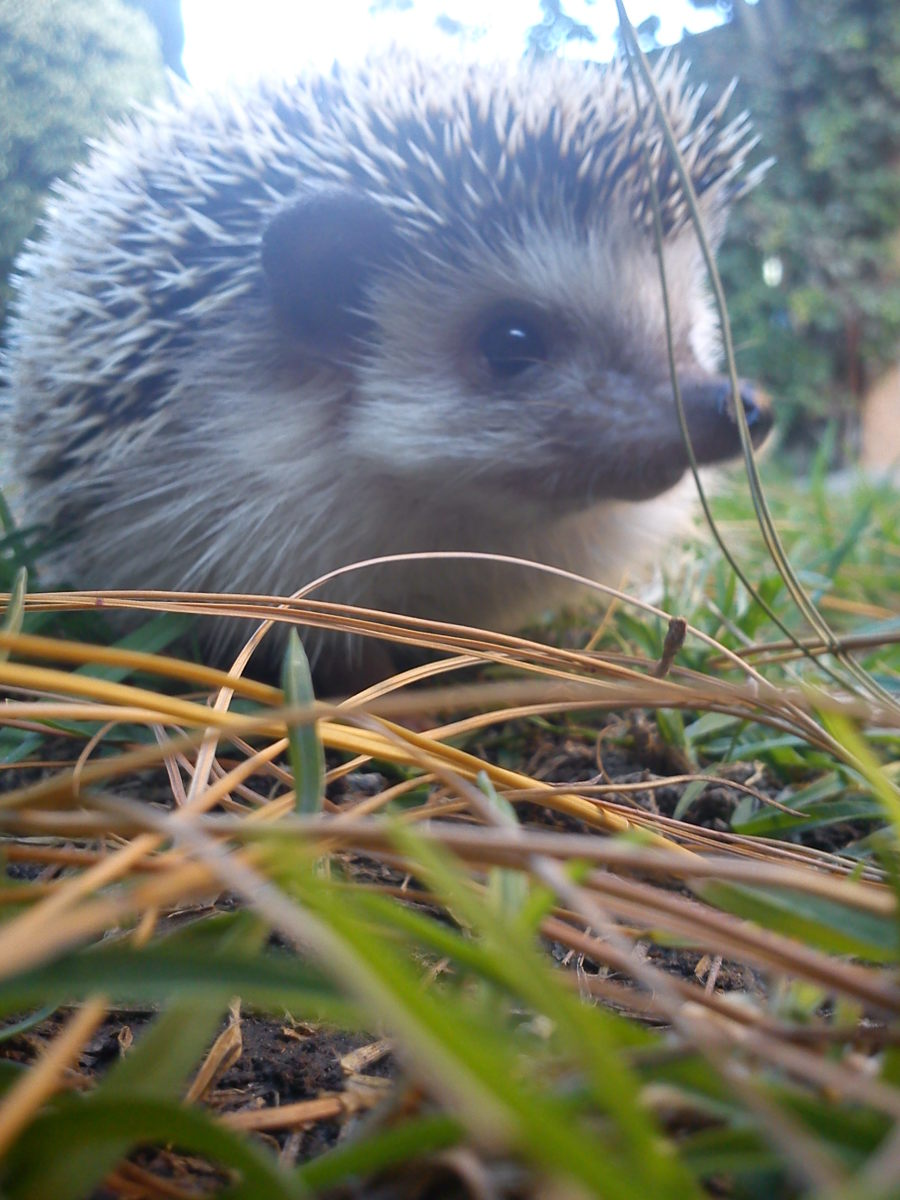 My own hedgehog in summer in the fresh grass.