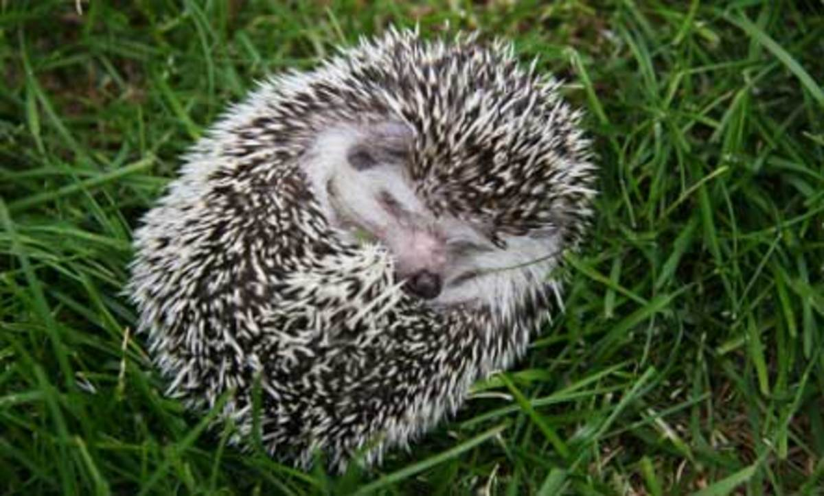 Hibernating hedgehog.