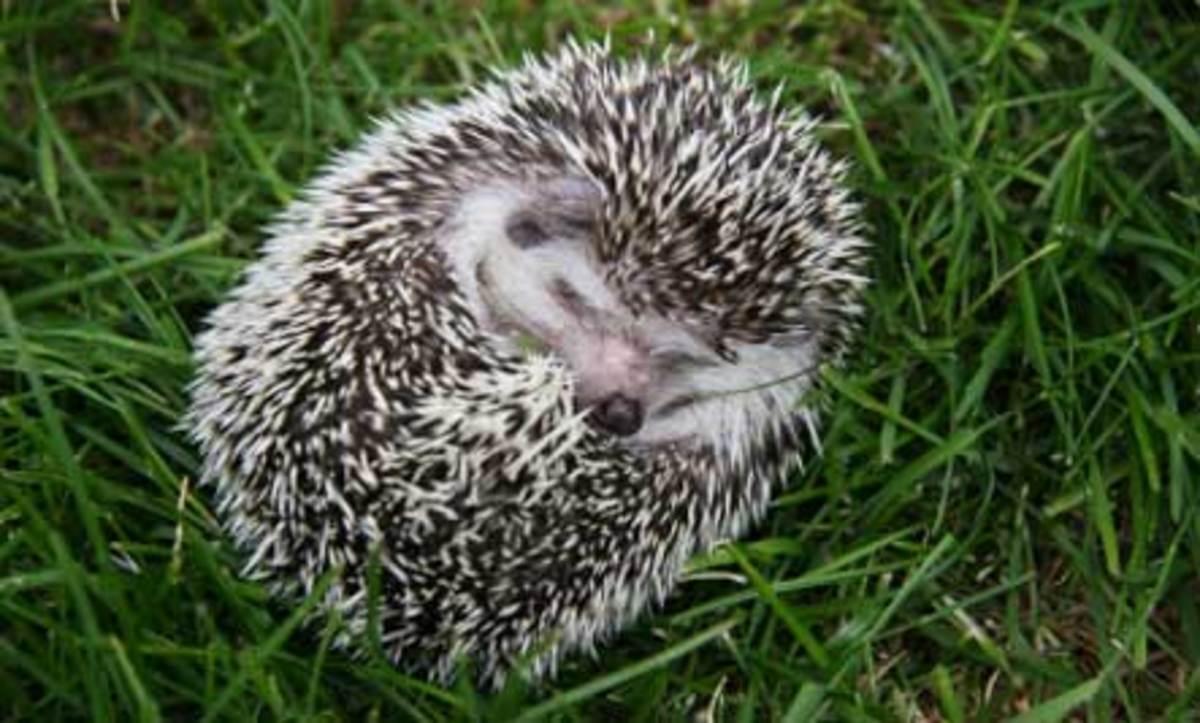 Hibernating hedgehog.