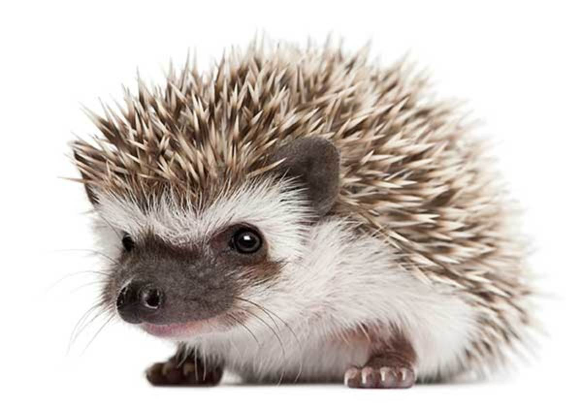 The importance in the control of temperature in hedgehogs depending of the weather.