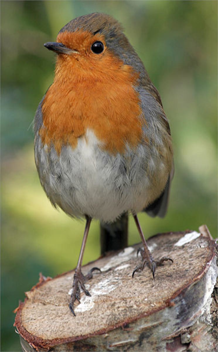 The European robin also called redbreast is 5 inches from beak to tail top, around 2-4 inches high and is found all over the UK.