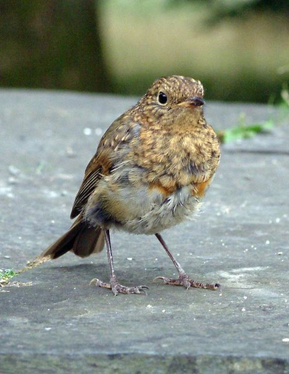 Juvenile robins have a spotty, speckled brown plumage, with no hint of a red breast which develops later in the summer. In its first year, the robin has a one in six chance of survival.