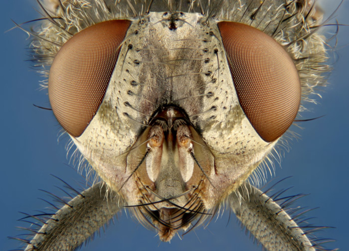 Muscoid fly (house fly) (6.25x)- Charles Krebs Photography.