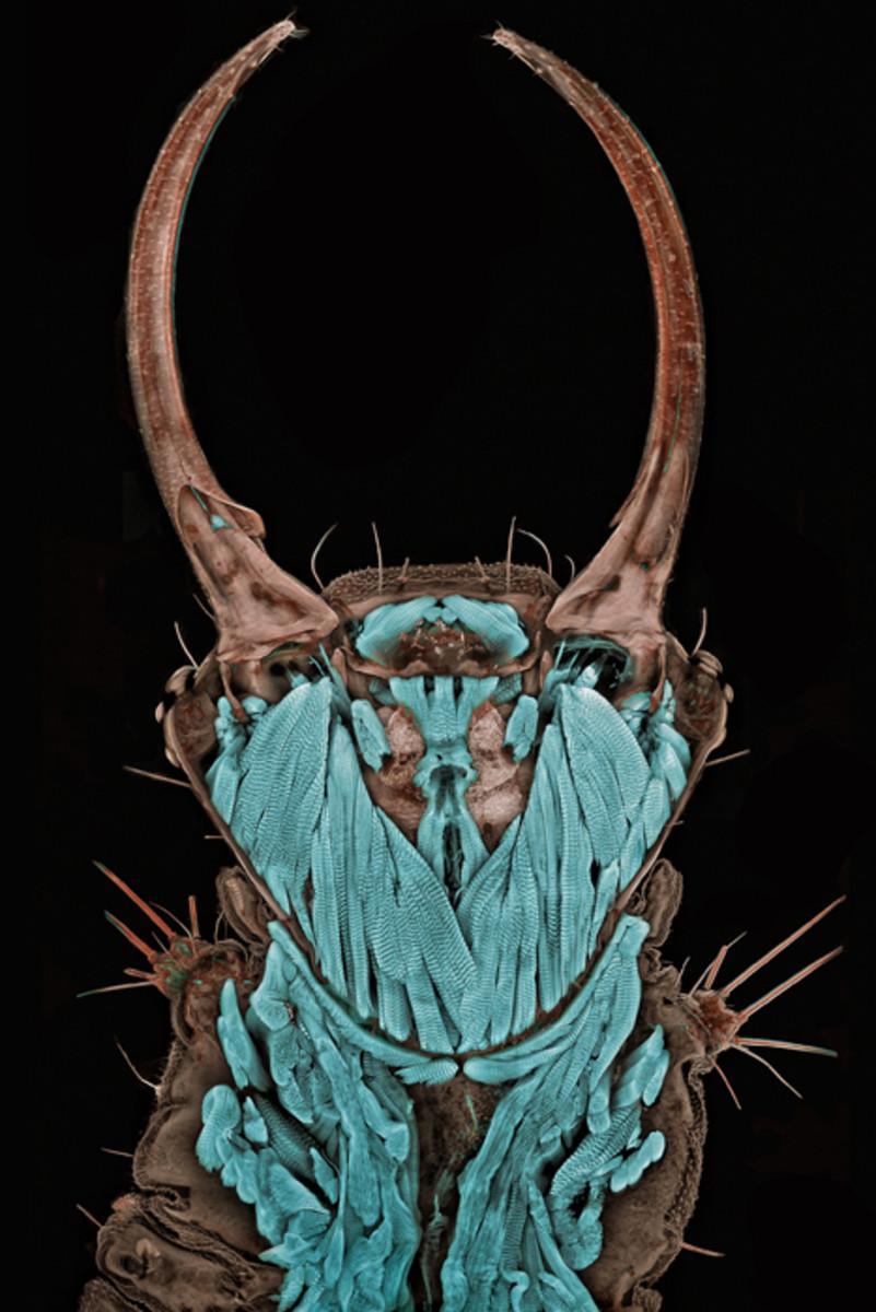 Portrait of a Green Iacewing (Chrysopa spec.) larva (20x)- Max Planck Institute of Neurobiology.