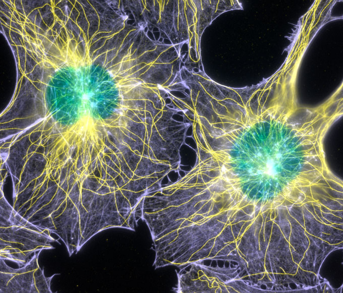 Filamentous actin and microtubules (structural proteins) in mouse fibroblasts (cells) (1000x), Fluorescence. /  The Scripps Research Institute.