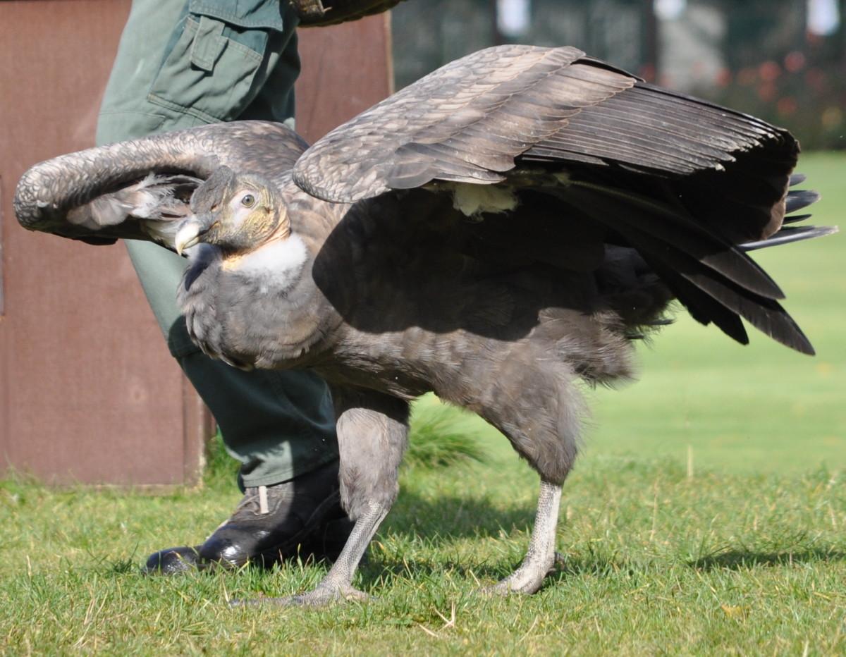 birds-of-prey-the-andean-condor