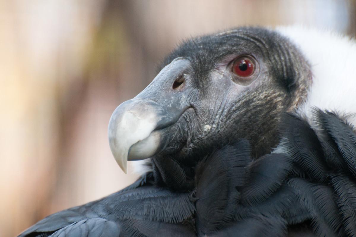 Female Andean Condor