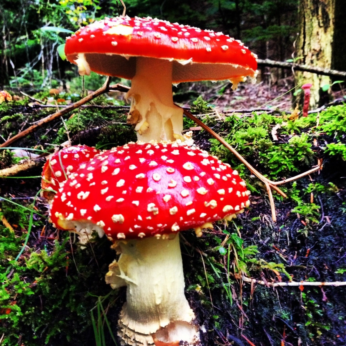 Picking Edible Wild Mushrooms, Wild Mushroom Hunting POISONOUS  fly agaric,, Do Not Eat