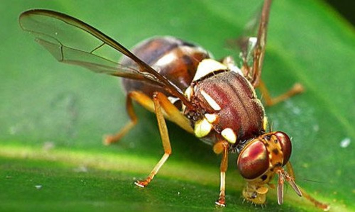 How to get rid of Fruit Flies and prevent them from Coming Back