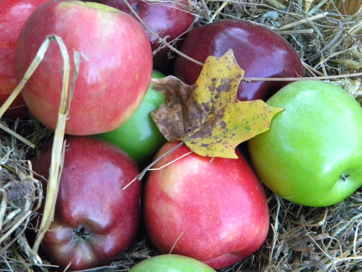 Apples nestled in hay for bobbing, eating and decoration!