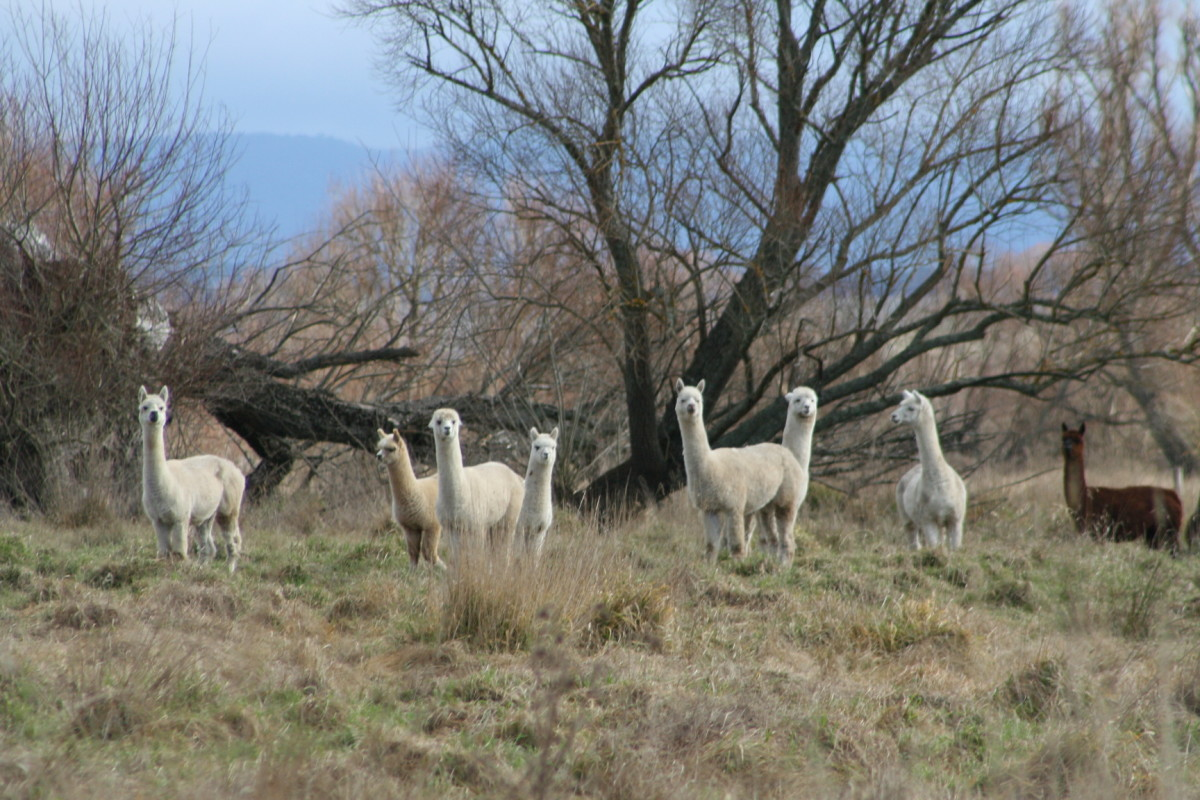 Alpacas are herd animals. They enjoy the company of others.