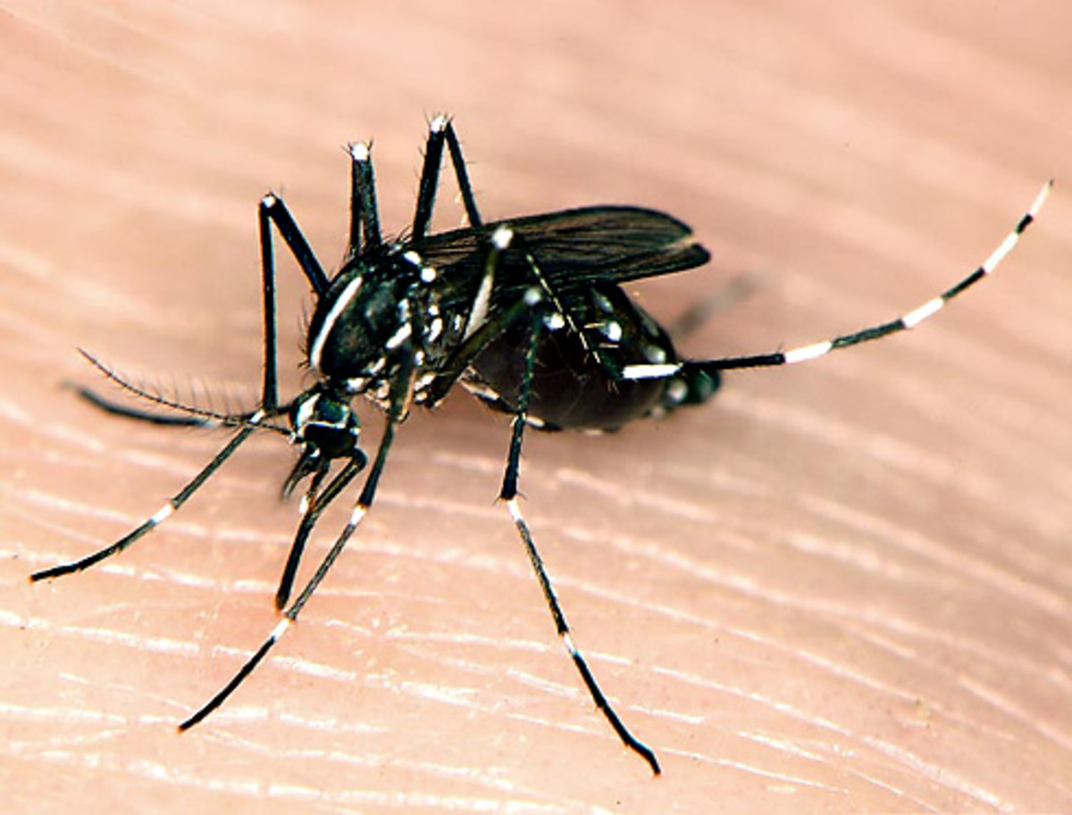 The Asian Tiger Mosquito