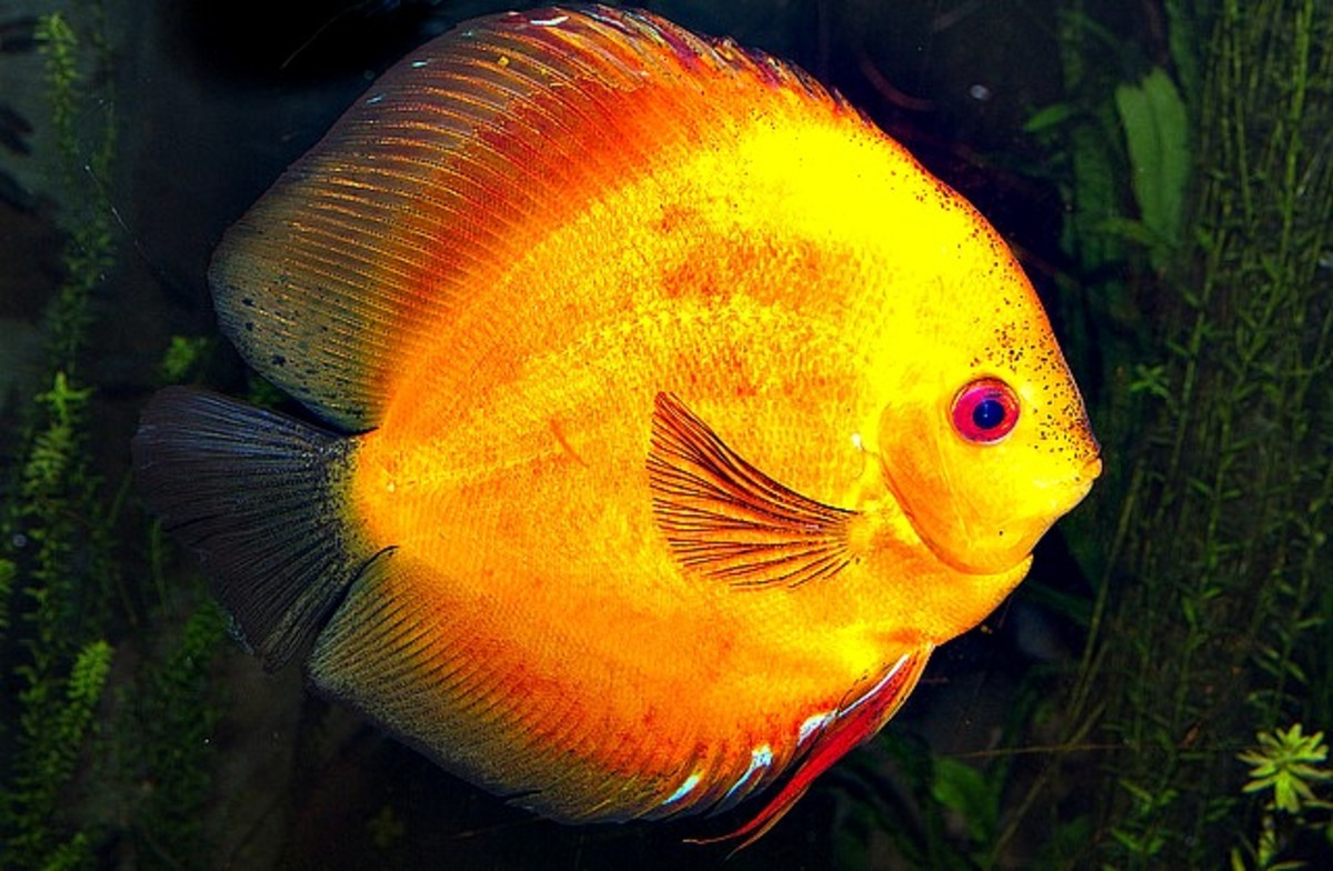 the-colorful-discus-fishes