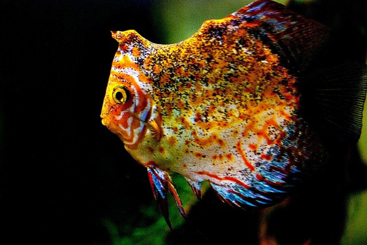 Colorful discus fishes hubpages for Best place to buy discus fish