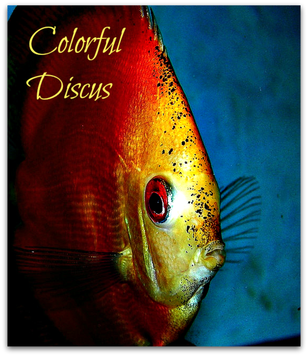 Colorful Discus Fishes