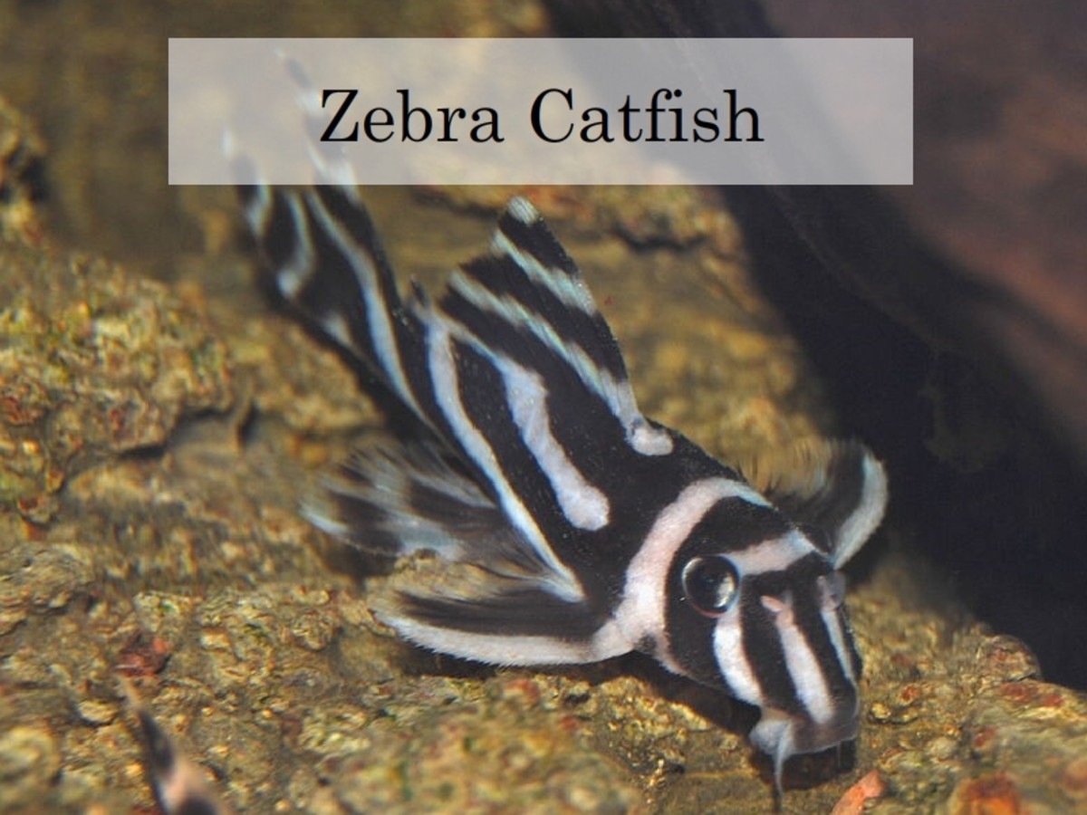 Zebra Catfish