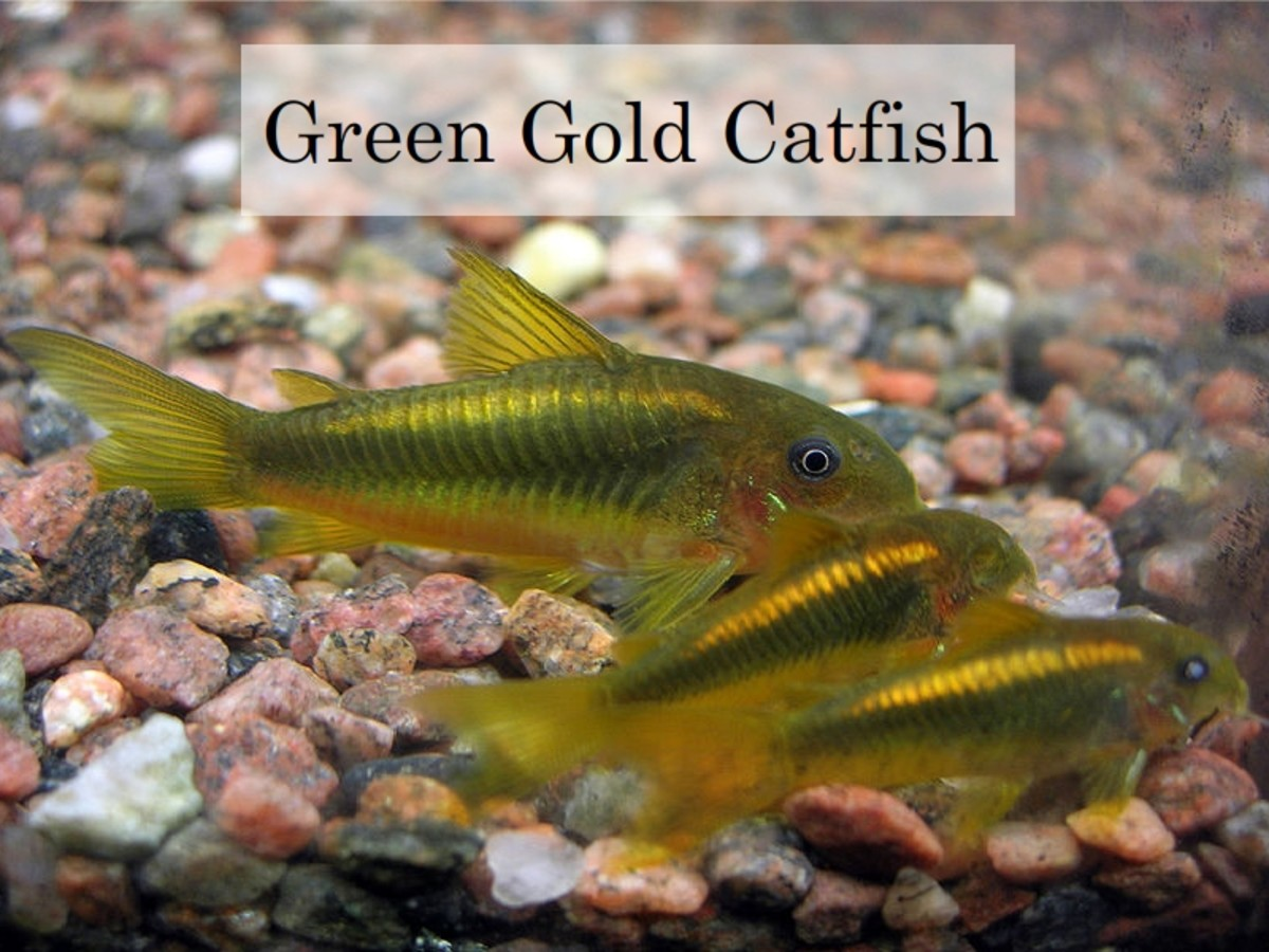 Green Gold Catfish