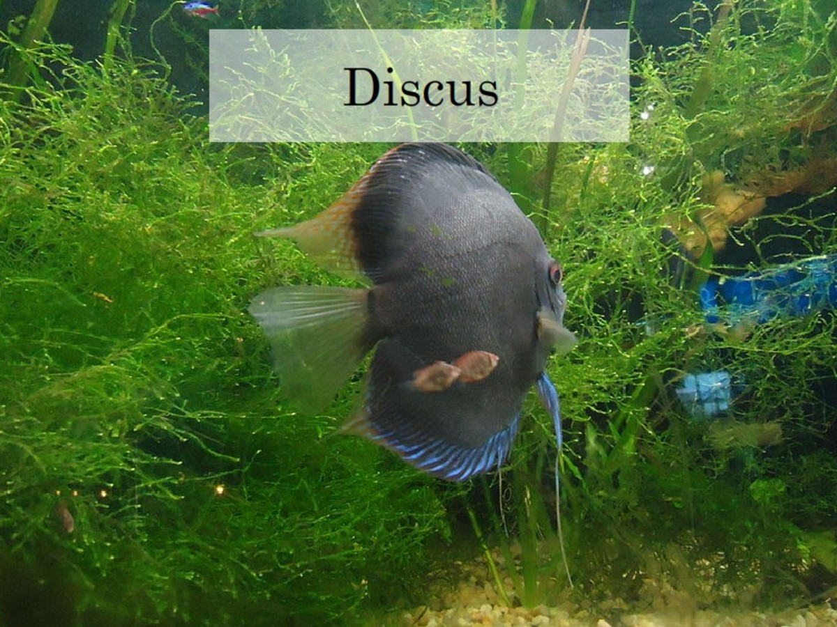 Discus - one of the most popular fresh water aquariam fish