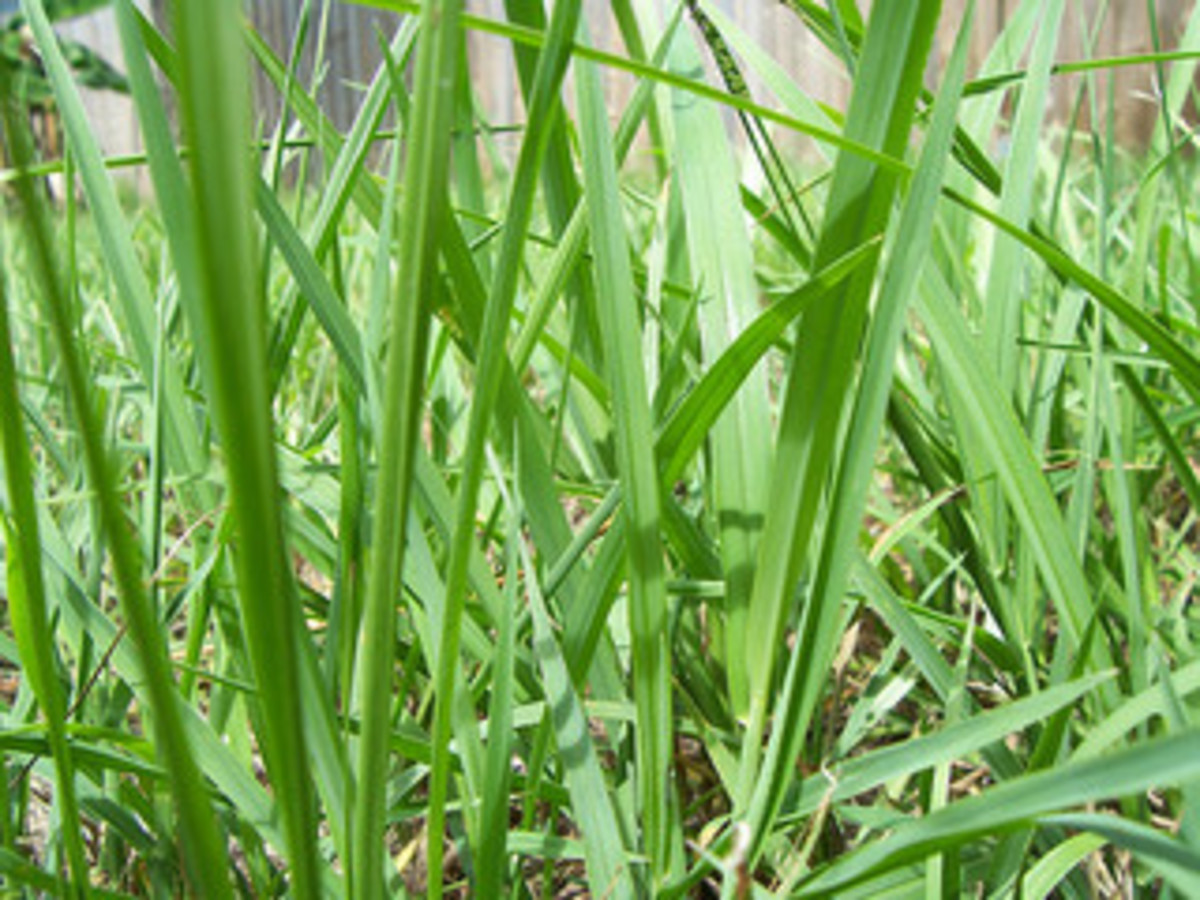 green grass - threading its way to sun and life ~ suzettenaples