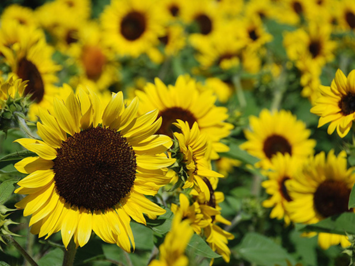 sunflowers smile - sun radiates upon upturned face