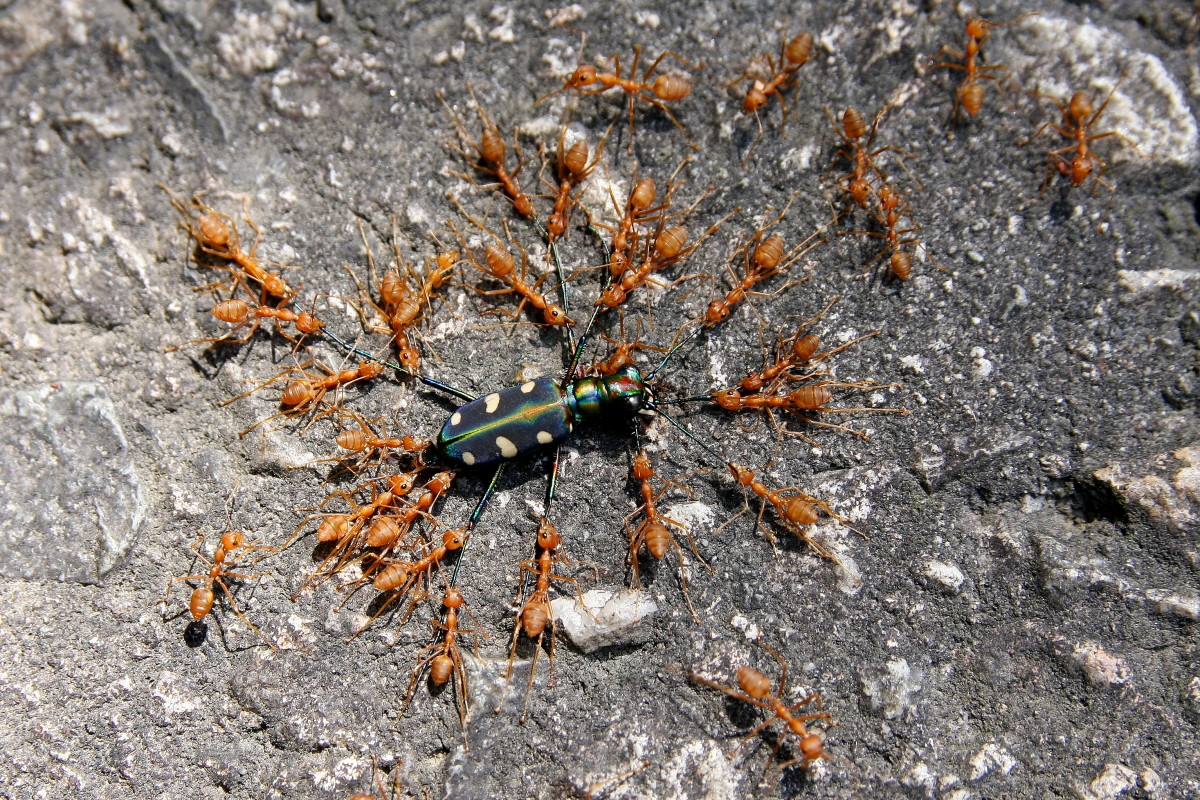beneficial-insects-the-fire-ants